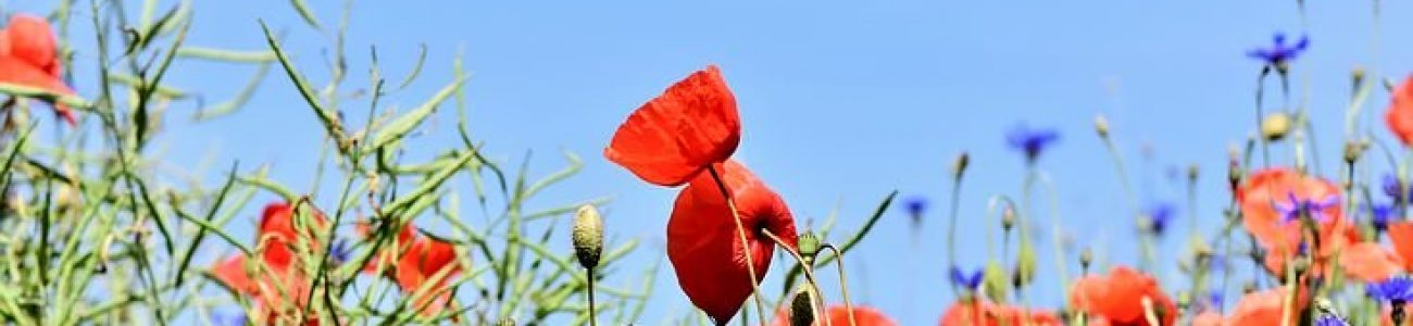 poppy-3441348__480